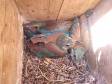 Juvenile Rollers before fledging