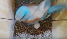 Az első szalakóta tojás (Forrás: Szalakóta fészekkamera